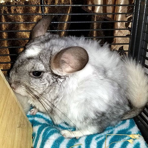 Adopt Hermey a Silver or Gray Chinchilla small animal in Lindenhurst