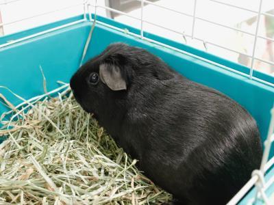 Adopt A1901660 a Guinea Pig