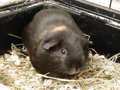 Adopt A1902152 a Guinea Pig