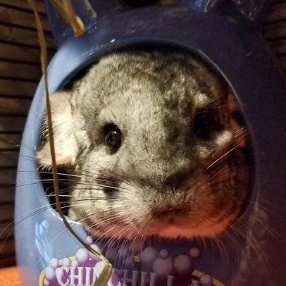 Adopt Changa a Silver or Gray Chinchilla small animal in Lindenhurst