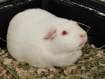 Adopt A1902147 a Guinea Pig