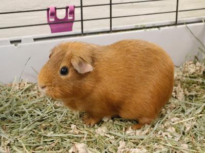Adopt A1901123 a Guinea Pig