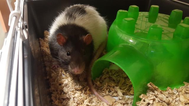 Adopt CHUBBY a Rat