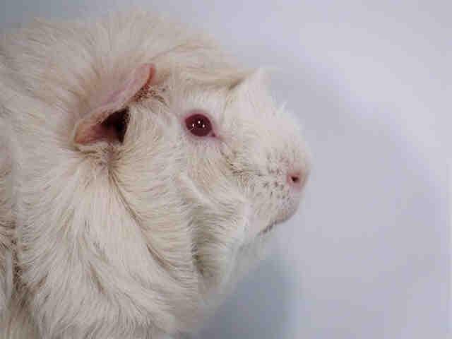 Adopt ELEVEN a Guinea Pig