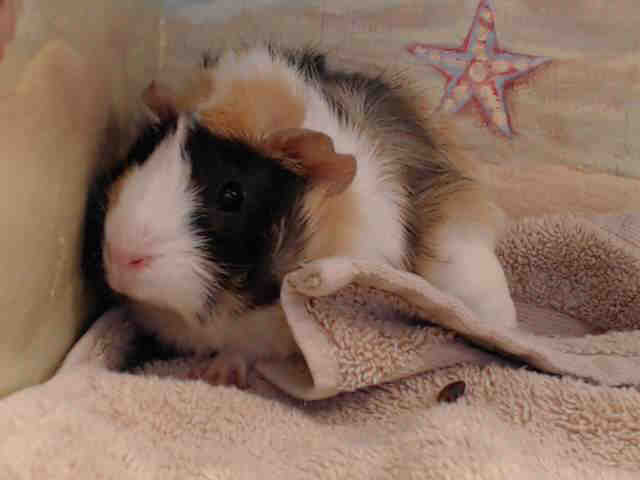 Adopt WILDSTYLE a Guinea Pig