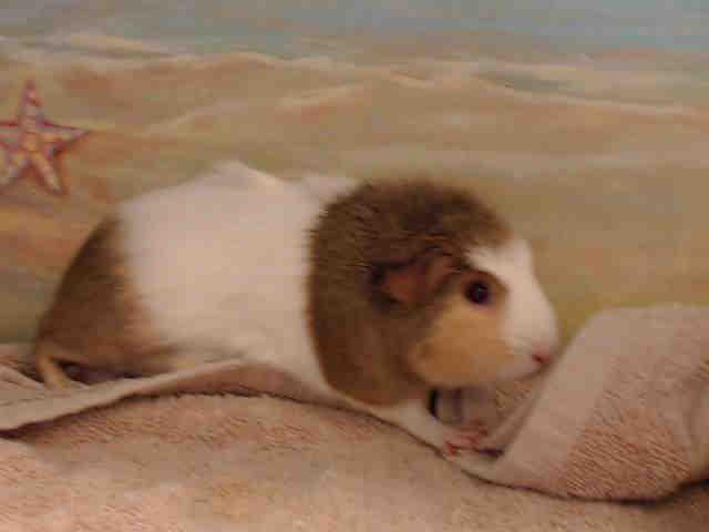 Adopt ODESSA a Guinea Pig