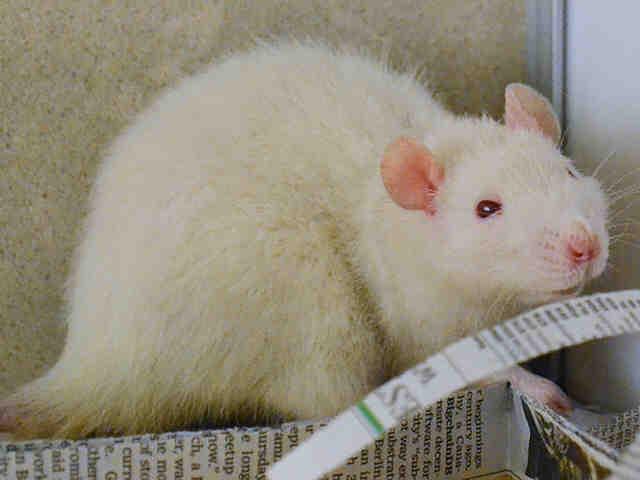 Adopt MINI a Rat