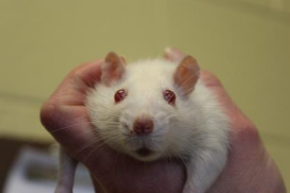 Adopt Crystal a Rat