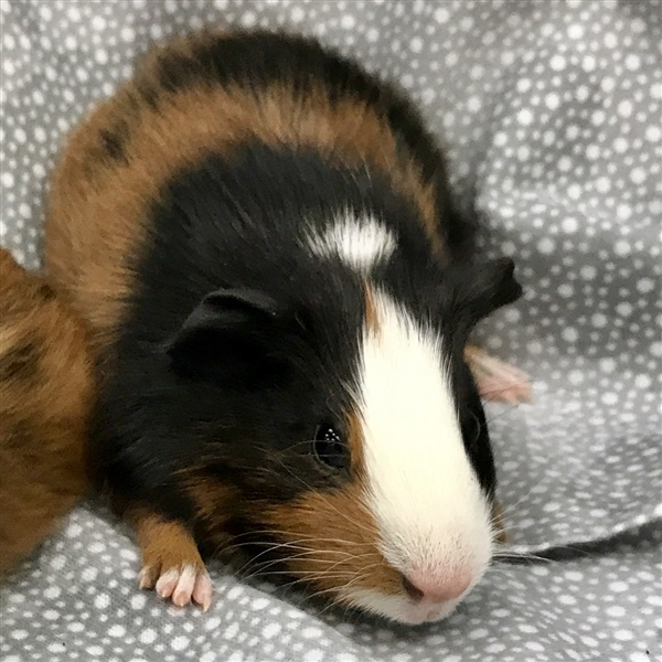 Adopt Finley -- Bonded Buddy With Charlie a Guinea Pig