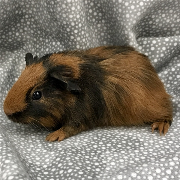 Adopt Charlie -- Bonded Buddy With Finley a Guinea Pig