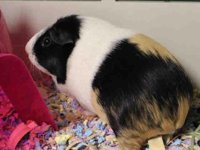 Adopt LULU a Guinea Pig