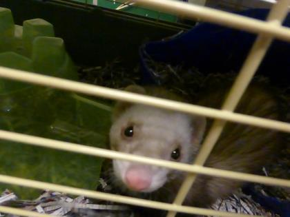 Adopt Edd a Ferret