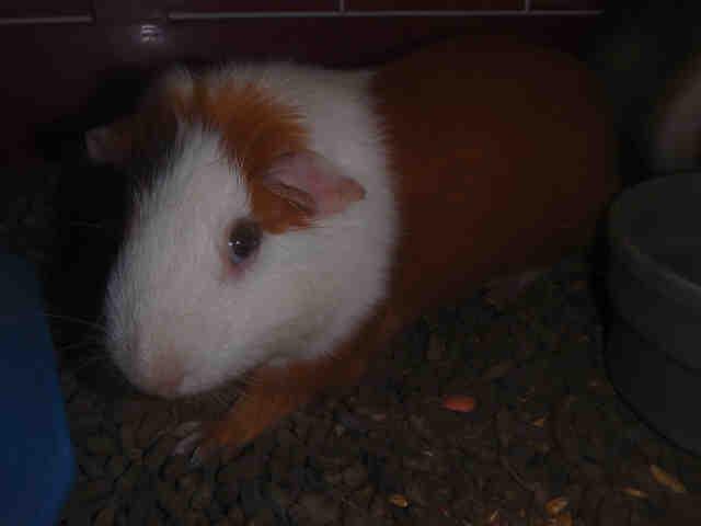 Adopt A1749331 a Guinea Pig