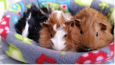 Adopt Kristoffer a Guinea Pig