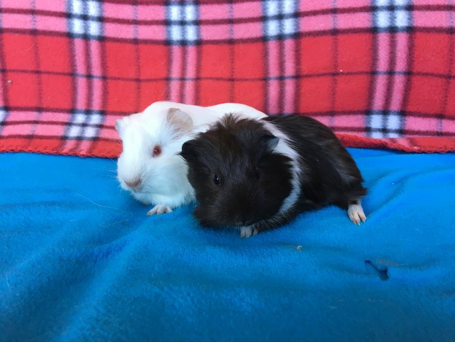 Adopt Garden & Fairy a Guinea Pig