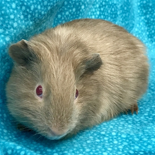 Adopt Oakley -- Bonded Buddy With Armani a Guinea Pig