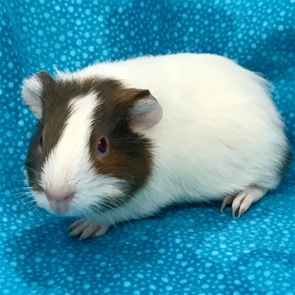 Adopt Armani -- Bonded Buddy With Oakley a Guinea Pig