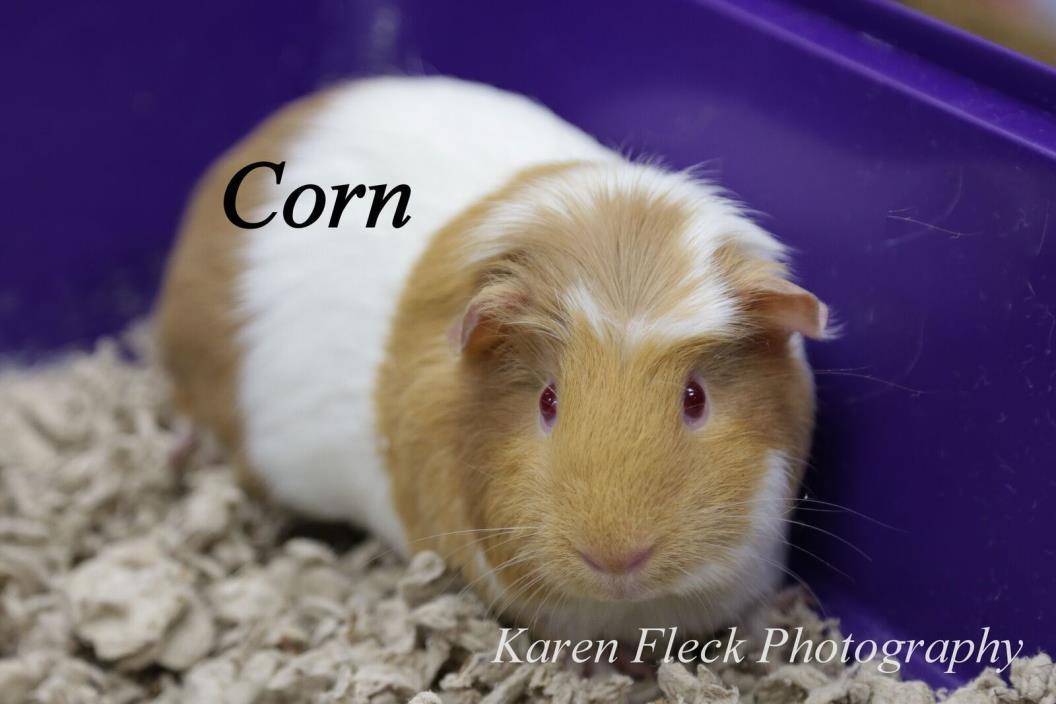 Adopt Corn a Guinea Pig