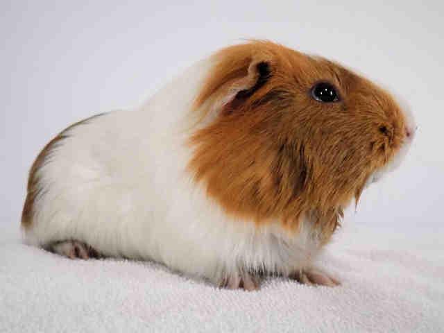 Adopt OCHO a Guinea Pig