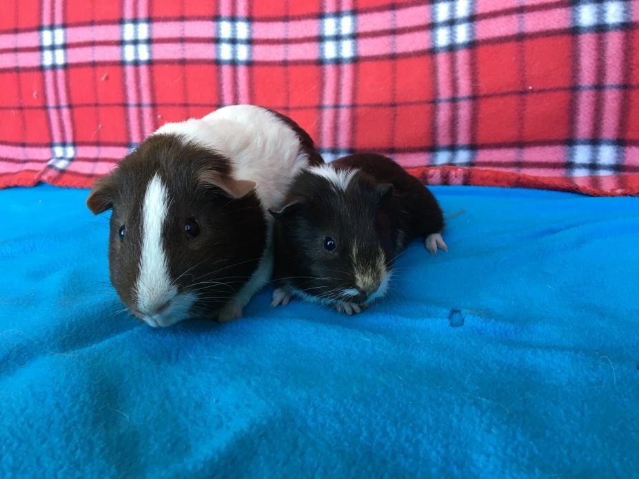 Adopt Biskit & Nutello a Guinea Pig