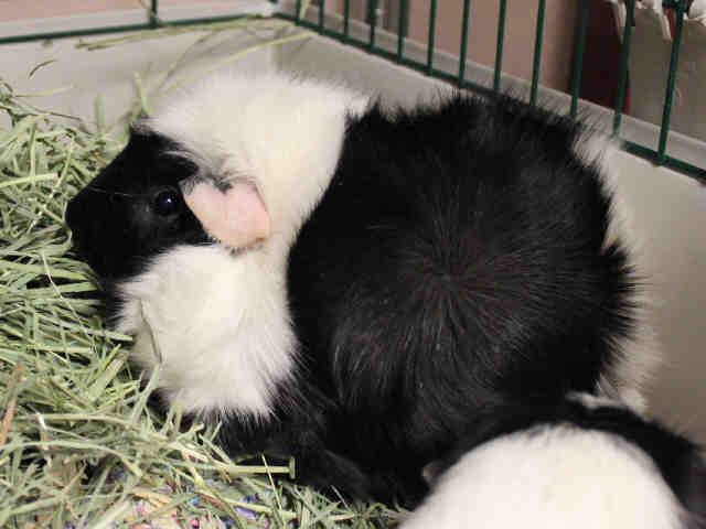 Adopt TUTU a Guinea Pig