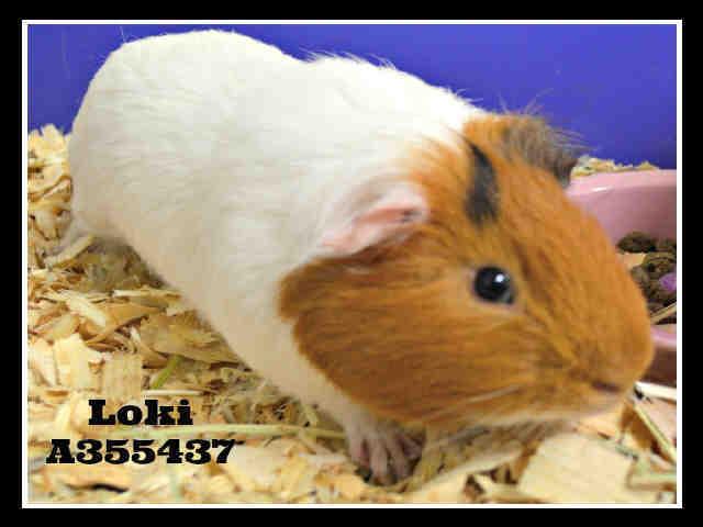 Adopt LOKI a Guinea Pig