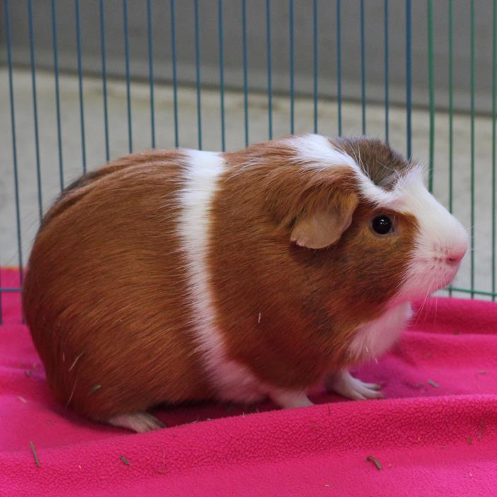 Adopt Rueben (bonded with Chester) a Guinea Pig