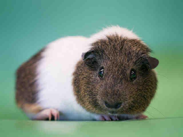 Adopt RANDY a Guinea Pig