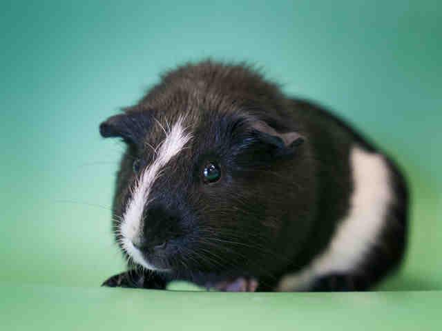 Adopt PEPPY LE PEU a Guinea Pig