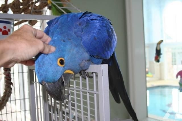 Female and Male Hyacinth Macaw with Cage