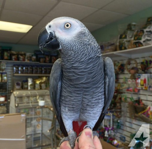 African Grey and cage