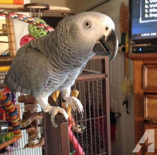 Beautiful Congo African Grey With Cage
