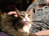 Very mellow sweet neutered male cat litter box trained very clea