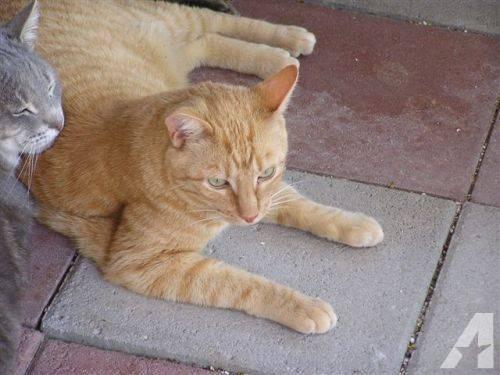 Domestic Short Hair - Orange and white - Catnip - Medium - Young