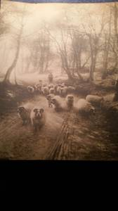 Very old print of man herding ram (Broomall)