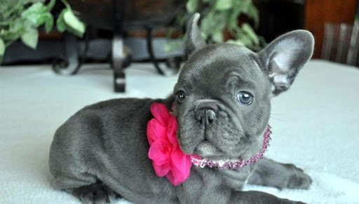Playful Akc Reg French Bull Dog Pups