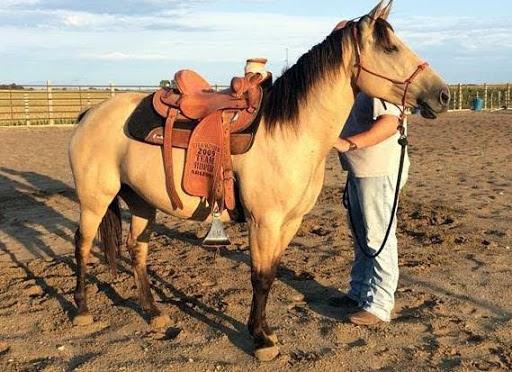 Dun quarter horse 469 xx 319 xx 1349