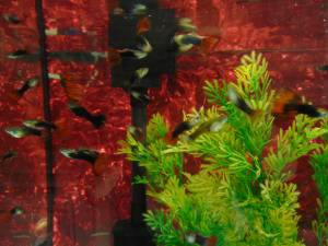 Approx 20 Fancy Guppie Fish For Sale