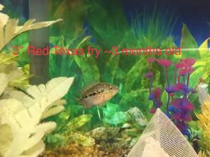 Flowerhorn cichlids