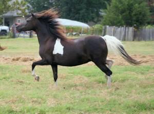 Beautiful Black and White ASPC Registered Shetland Pony Broodmare (Denison)