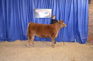 6 Year Old Reg. Limousin Cow (Big Prairie, Ohio)