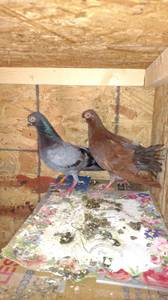 Budapest pigeons (Raleigh)