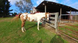 Gorgeous Paint Mare-Trail Horse Delux