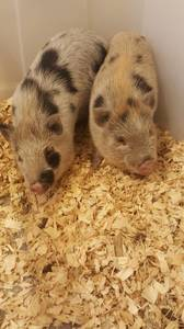 Mini Potbelly Pigs (Belmont Ohio)