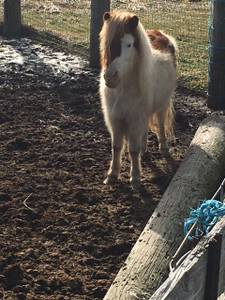 Registered sorrel pinto miniature horse (Willard)
