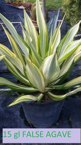 Variegated color Agaves. and blue agaves (SW MIAMI (REDLANDS AREA))