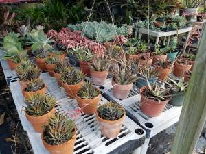 Succulents * Agaves * Cactus