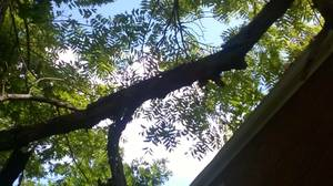 Free Walnut Tree- ready to be cut down (South Hills)