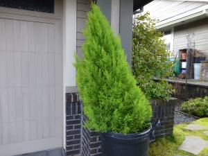 Lemon Cypress Tree 5' tall (Scappoose)