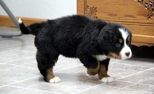 Ranger Bernese Mountain Dog Puppy